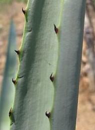 Foto: Dr. Felipe Palma. Márgen amarillo claro y dientes comunes de las hojas de Agave angustifolia