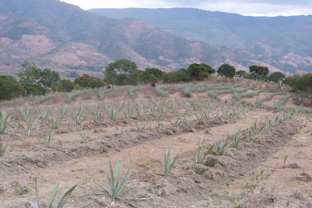 Plantación 2 curso de Magueyes