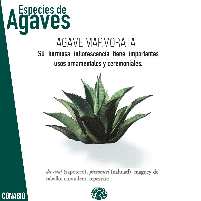 A. Marmorata