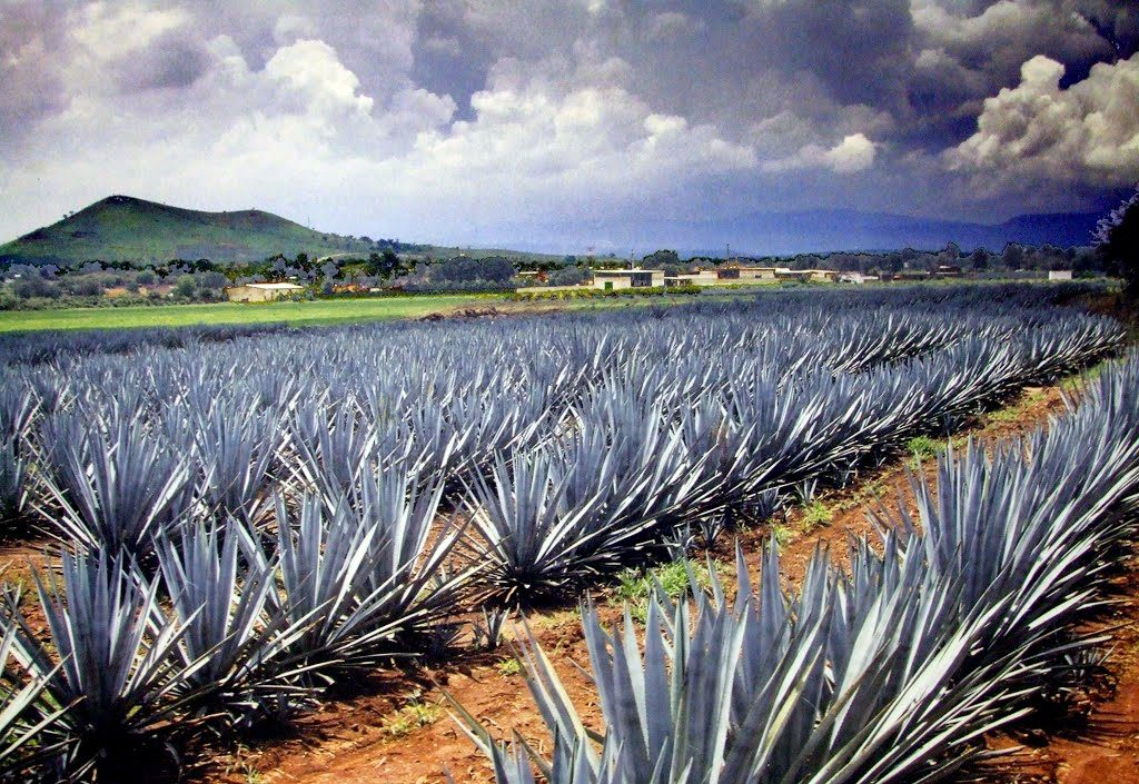 Diferencias entre el tequila y el mezcal