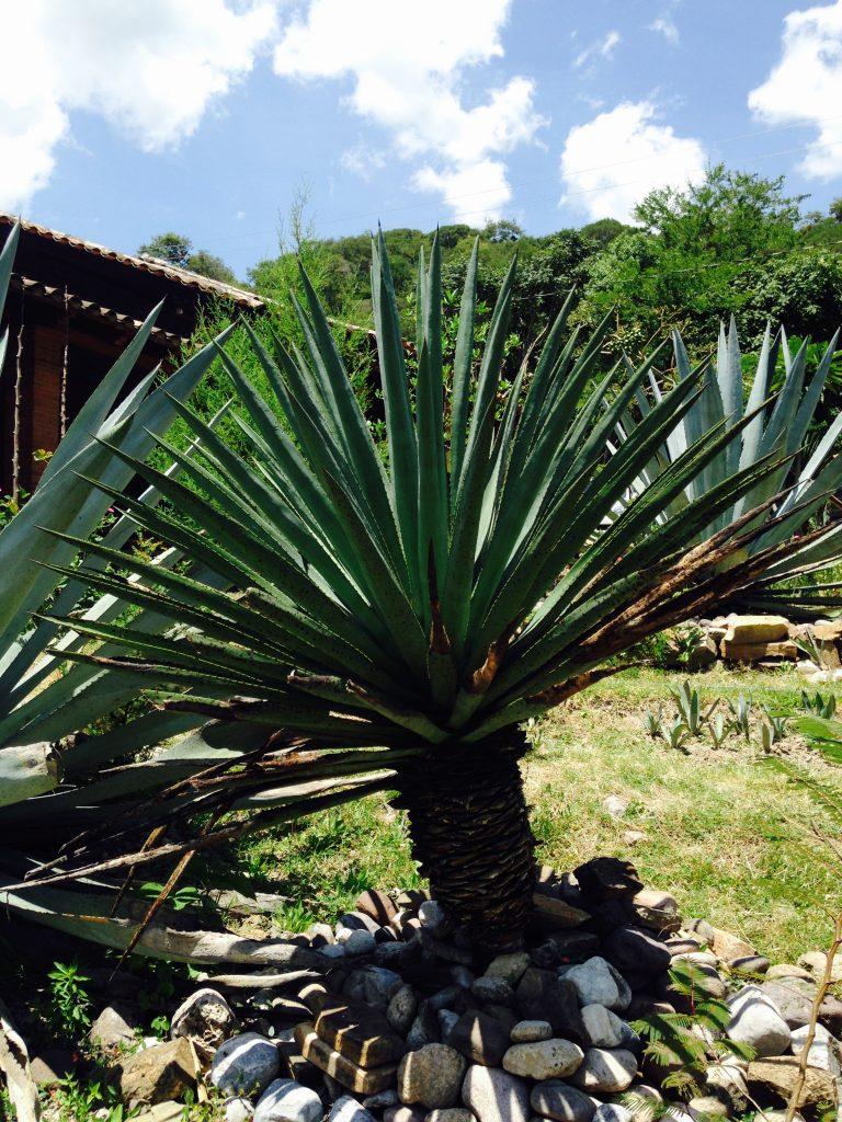Agaves mezcaleros de Oaxaca