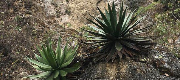 Tipo de suelo y aromas del mezcal